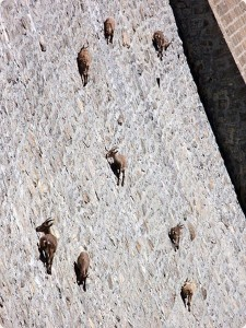 Top 12 Mountain Goats In A Miserable Position While Climbing A Cliff-8