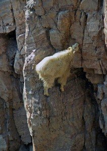 Top 12 Mountain Goats In A Miserable Position While Climbing A Cliff-9