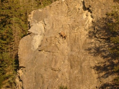 Mountain goat caught in awkward position on a cliff-