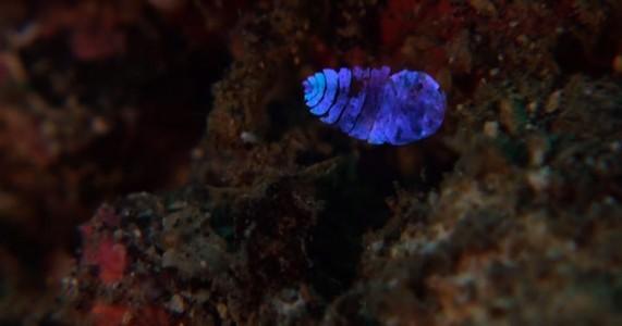 A Tiny Irridescent Sea Sapphire-1