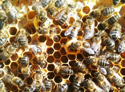 bees are threatened of extinction