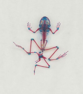 Reliquaries: Stunning Portraits Reveal Malformations In Frogs And Tadpoles-1