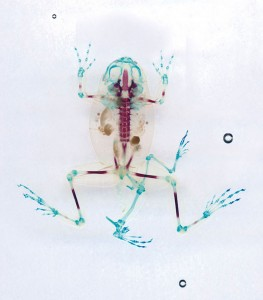 Reliquaries: Stunning Portraits Reveal Malformations In Frogs And Tadpoles-13