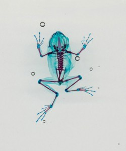 Reliquaries: Stunning Portraits Reveal Malformations In Frogs And Tadpoles-4