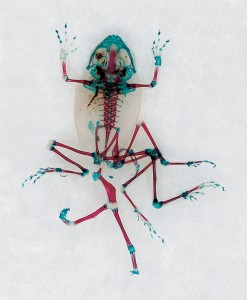 Reliquaries: Stunning Portraits Reveal Malformations In Frogs And Tadpoles-6