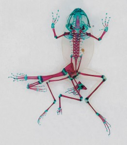 Reliquaries: Stunning Portraits Reveal Malformations In Frogs And Tadpoles-9