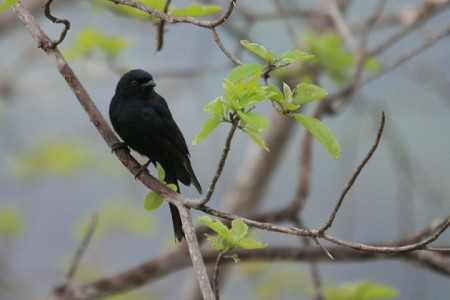 Spangled Drongo Steals Food Of Other Animals By Faking Their Distress Cries-