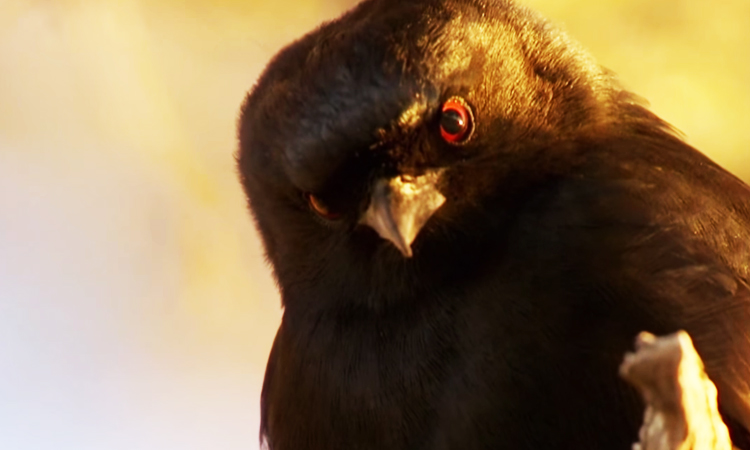 Spangled Drongo Steals Food Of Other Animals By Faking Their Distress Cries-1