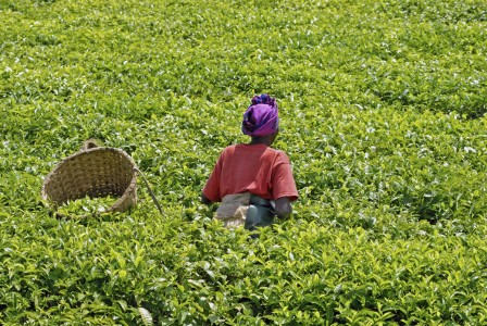 African Farmers Use SMS To Optimize The Harvest Management-3