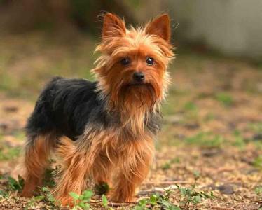Yorkshire Terrier-Chile-Most Beloved Dog Breeds Worldwide-11