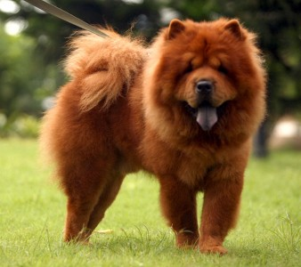 China-Chow-Most Beloved Dog Breeds Worldwide-16