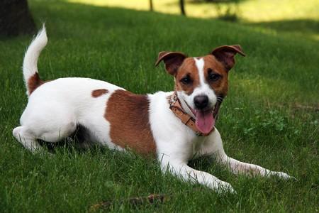 Jack-Russel-Terrier-Most Beloved Dog Breeds Worldwide-3