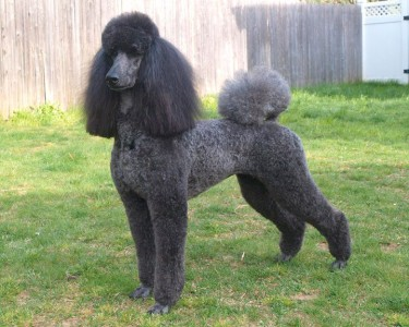 France Poodle- Most Beloved Dog Breeds Worldwide-4