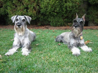 Schnauzer-Sweden-Most Beloved Dog Breeds Worldwide-5