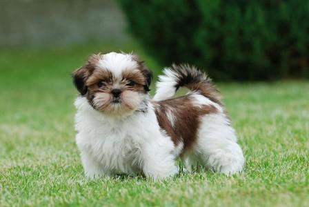 Mexico-Shih Tzu-Most Beloved Dog Breeds Worldwide-7