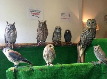 An Unusual Owl Bar Where You can Drink Coffee While Cuddling Owls-