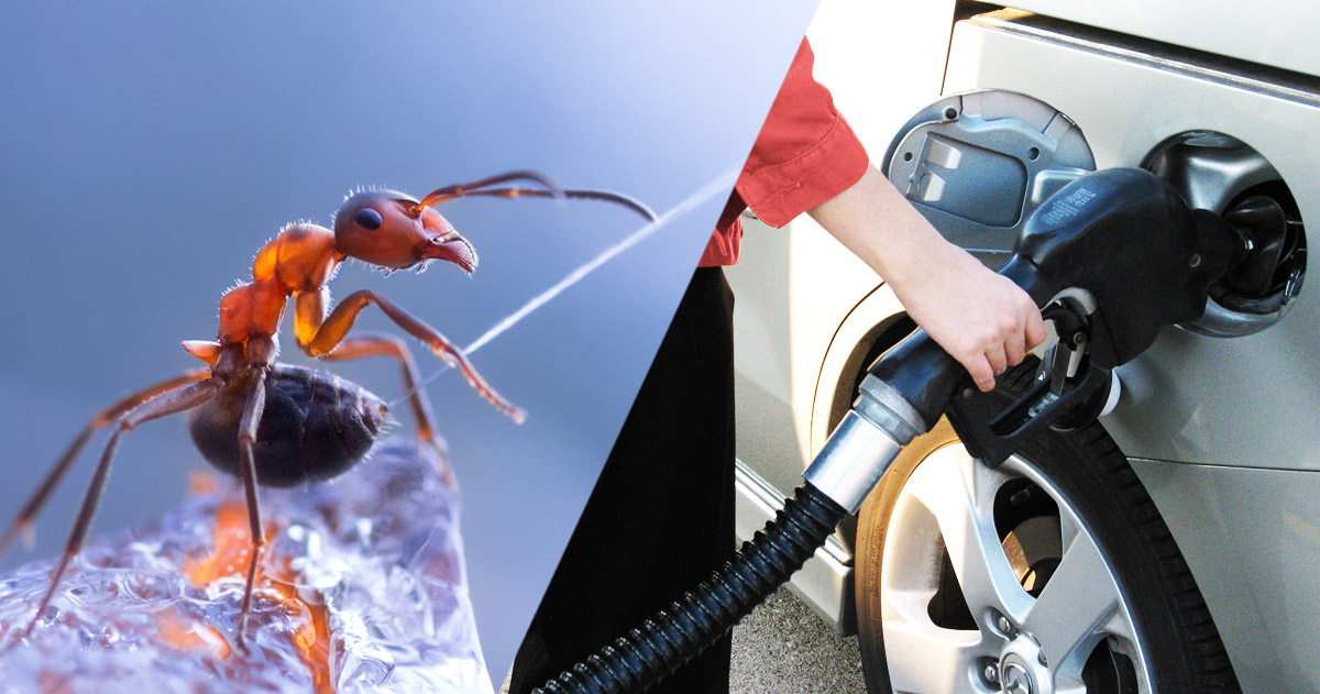 French Researchers Use Ant Secretions To Make Green Fuel-