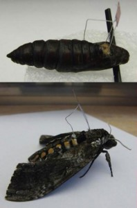 Scientists Insert elctrodes into butterflies-1