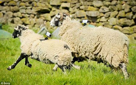 Scientists To Use Sheep To Provide Internet In The Countryside-
