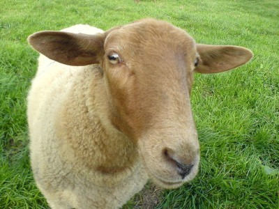 Scientists To Use Sheep To Provide Internet In The Countryside-1