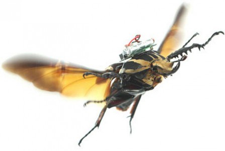 Insect cyborg: A beetle Can Now Be Turned Into A Drone-