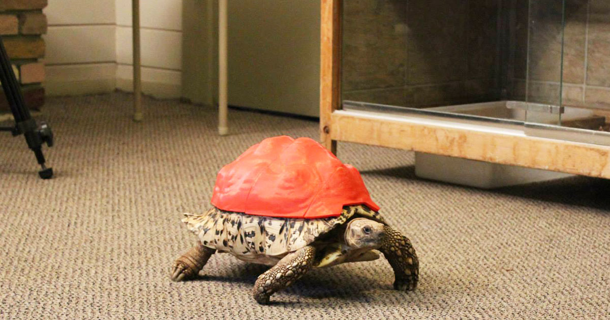 3D Printing Gives A New Life To Turtle Cleopatra-2