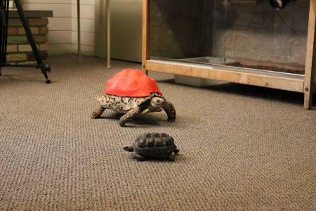 3D Printing Gives A New Life To Turtle Cleopatra-9