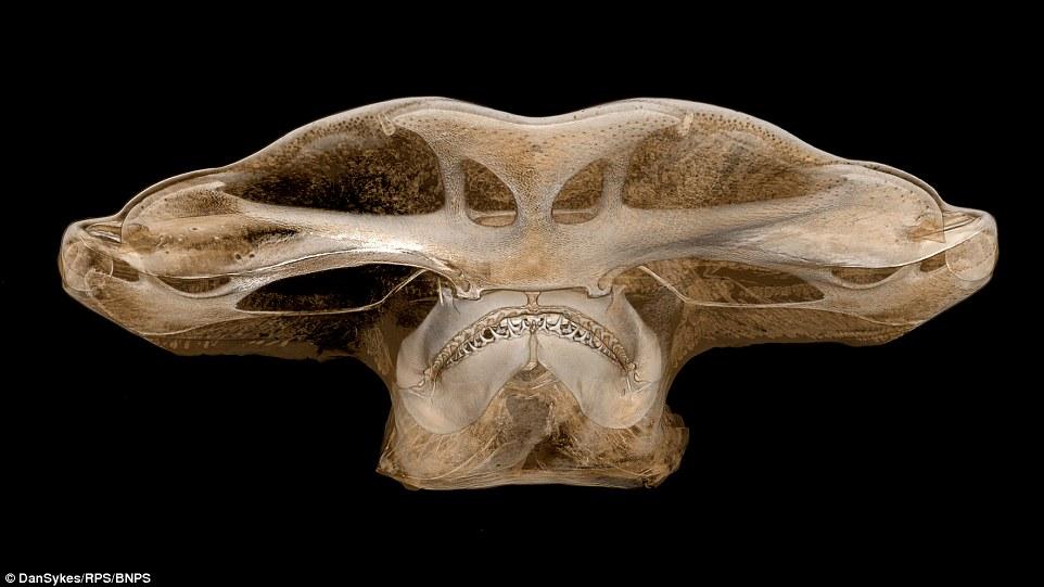 3D image of the head skull of hammer head shark reconstructed using revolutionary X-ray scanning technology