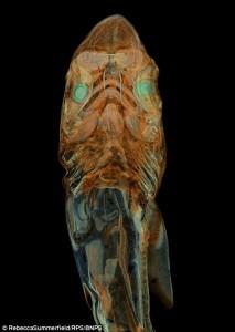 Stunning image of endangered tope shark foetus