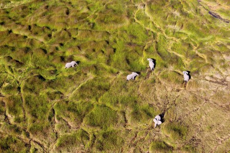 African elephants in the plain, Okavango Delta, Botswana
