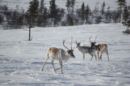 Discover Lapland, A Magnificent Nordic Region between Land And Ice-22