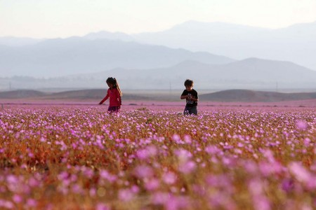 Discover The Explosion Of Colors In Atacama Desert After The Rainfall -
