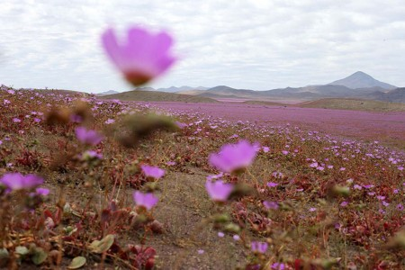 Discover The Explosion Of Colors In Atacama Desert After The Rainfall -1