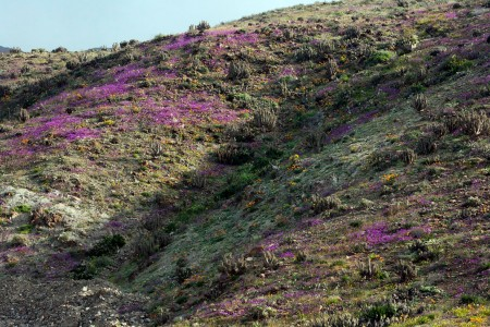 Discover The Explosion Of Colors In Atacama Desert After The Rainfall -11