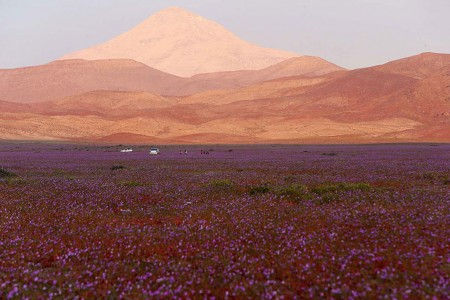 Discover The Explosion Of Colors In Atacama Desert After The Rainfall -3