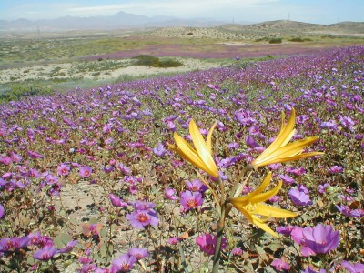 Discover The Explosion Of Colors In Atacama Desert After The Rainfall -8