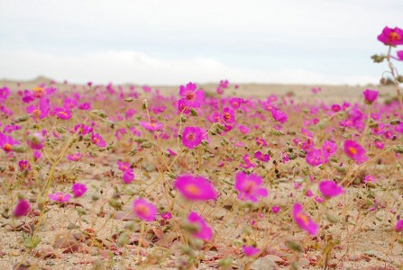 Discover The Explosion Of Colors In Atacama Desert After The Rainfall -9