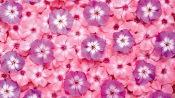 Pink wallpaper as background 10