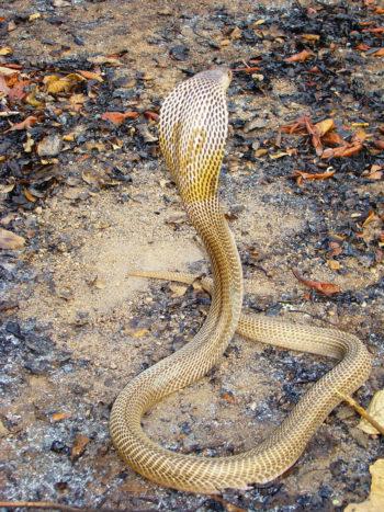 Cobra Naja 2