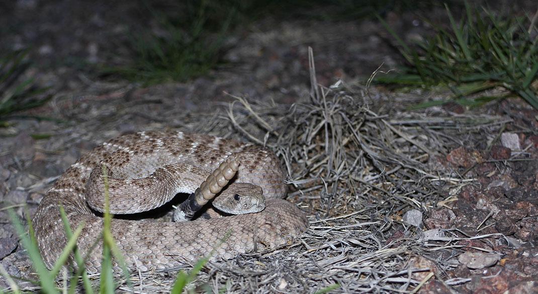 Rattlesnake-texas-2