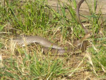 Serpent brun 2